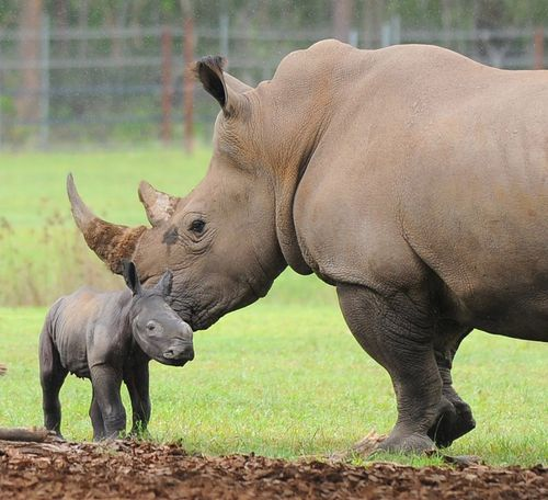 Rhino mom noses
