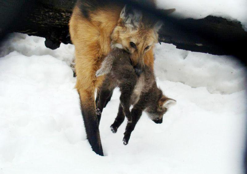 Maned-Wolf-Zoo-Libere