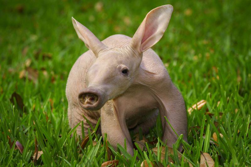 Busch Gardens Aardvark 4