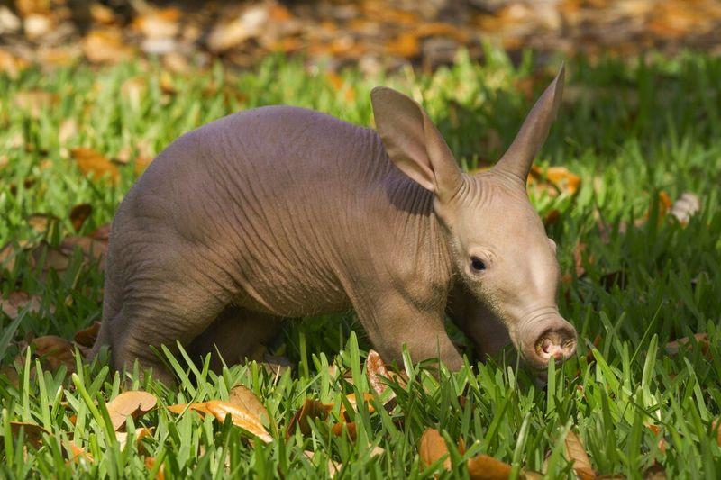 Busch Gardens Aardvark 1.jpg