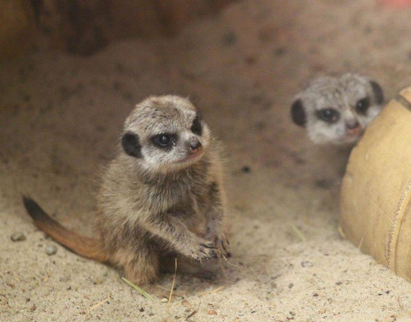Meerkat-Warsaw-Zoo 1