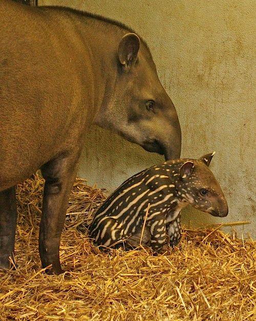 Tapir 4