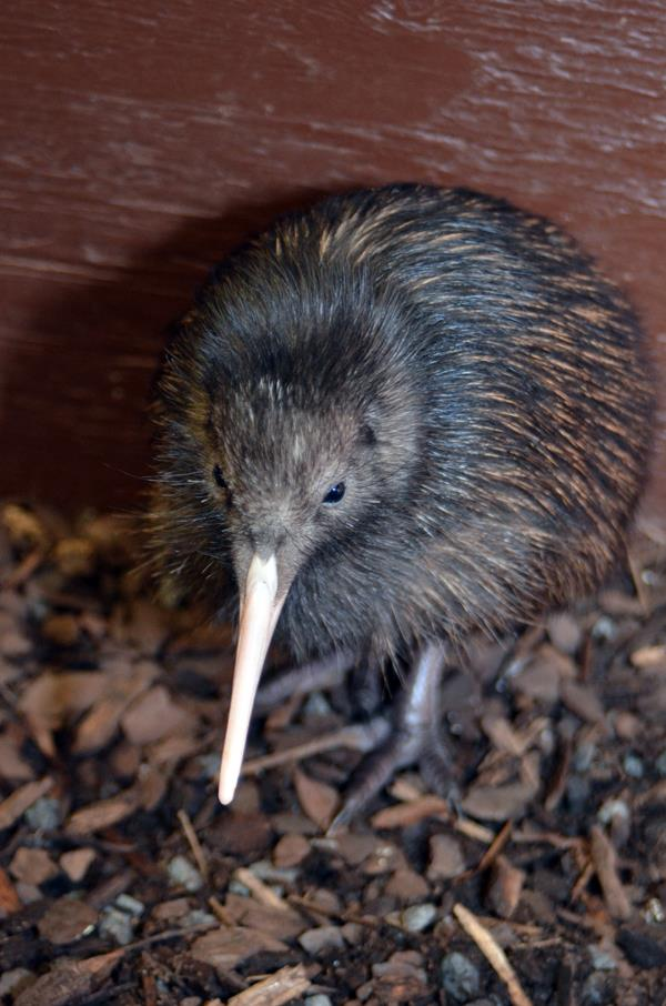Nat Zoo Kiwi 3
