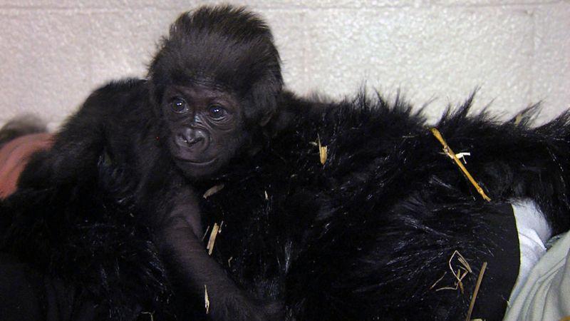 7 Gorilla Fur