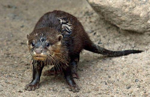 Otter 1