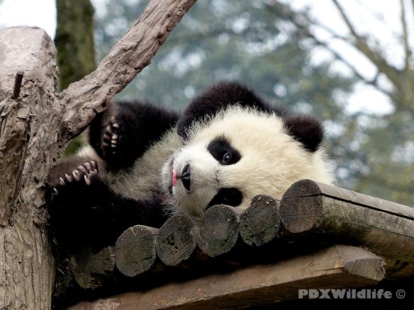 Panda Cub Covering Eye
