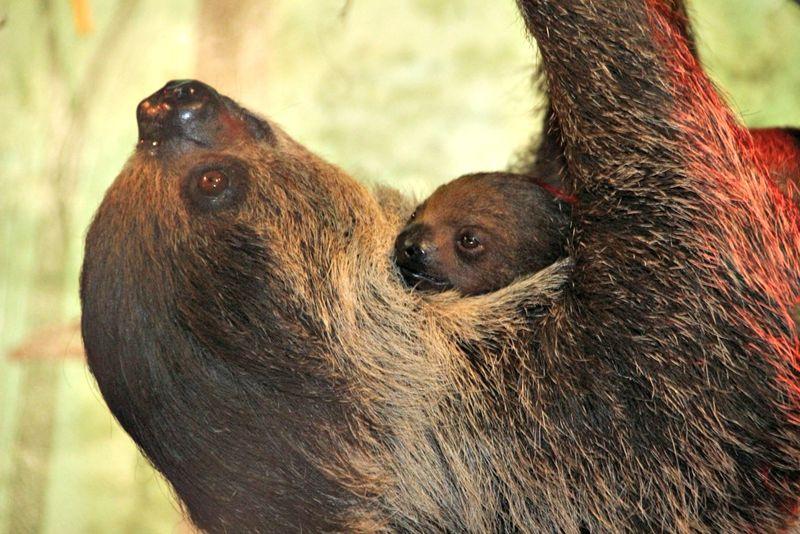 Sloth Baby 3_7_2013_media
