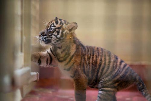 Tiger sideMH.