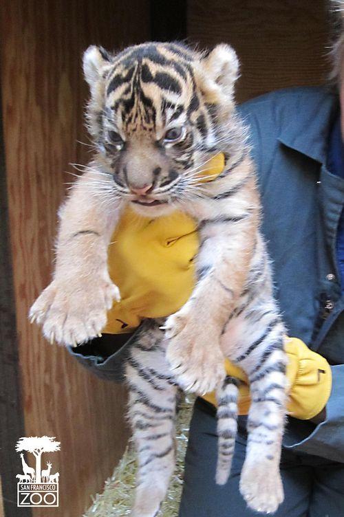TigerCub030113