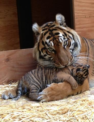 Tiger hugs mom