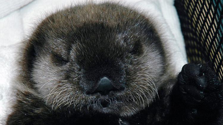 Baby-otter-fluffy2
