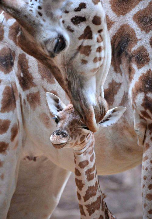 Giraffe-9