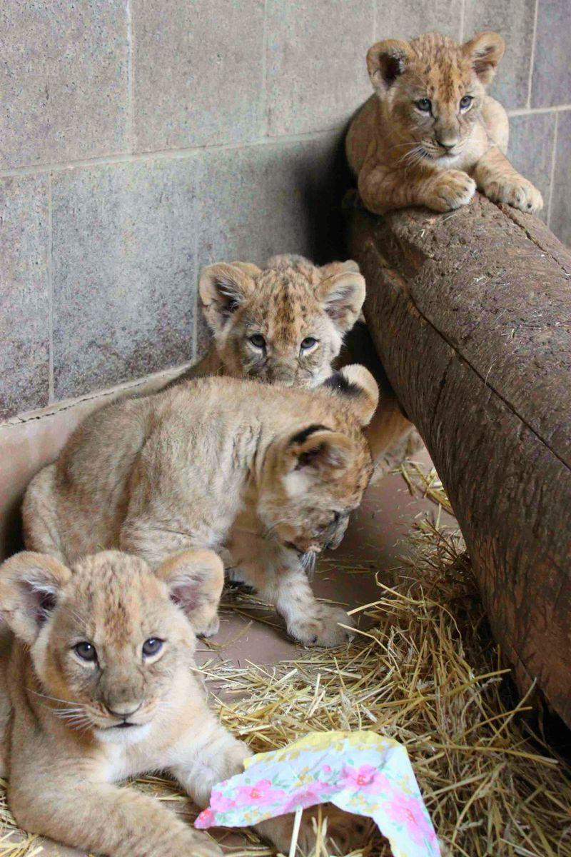 Omaha Lion 5