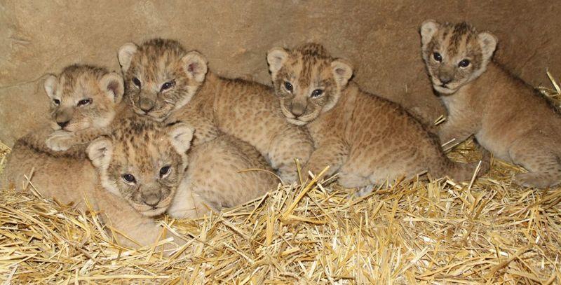 Omaha Lion 8
