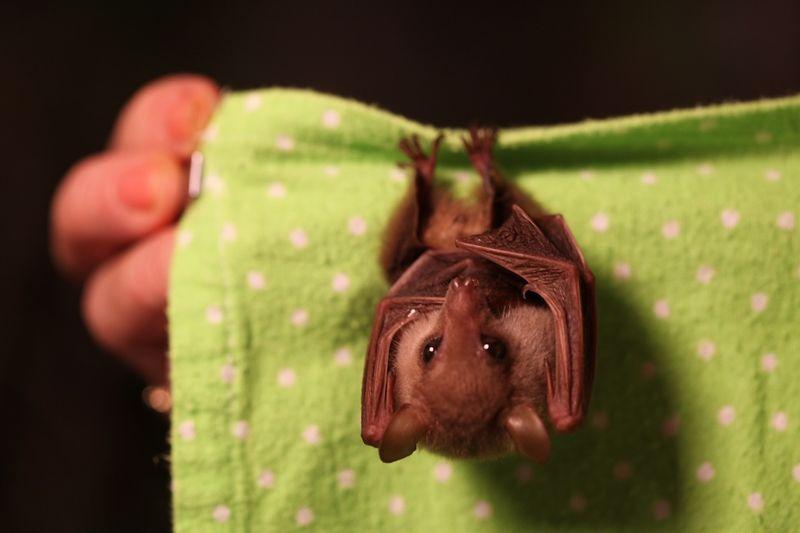 Bat hang
