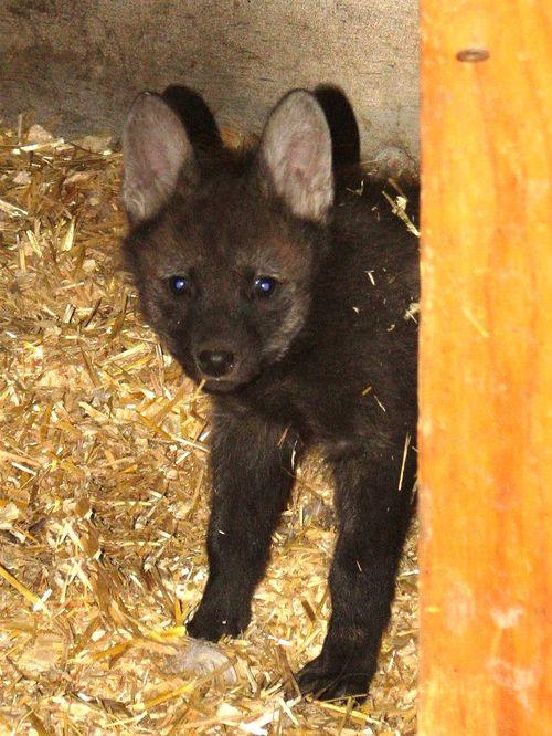 Maned wolf 3