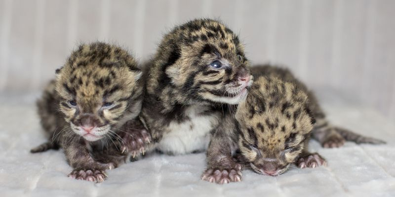 Clouded Leopard Cubs 2013 - Amiee Stubbs