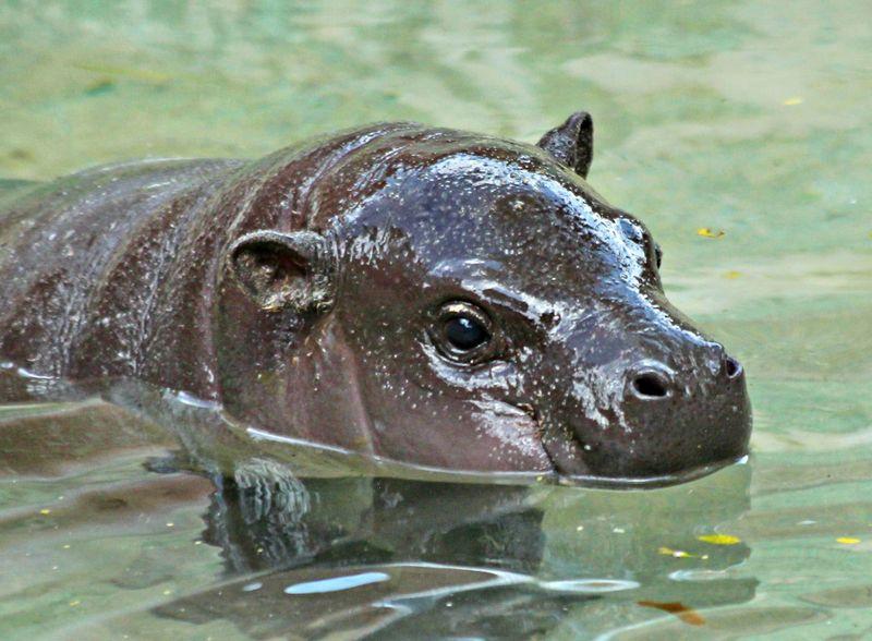 Baby hippo2