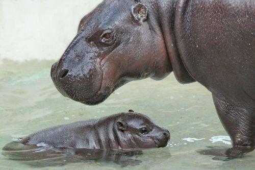 Baby hippo4