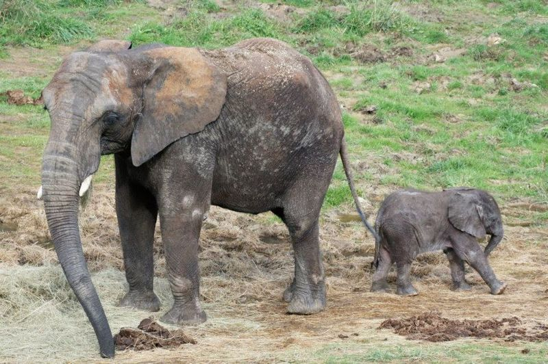Zoo_De_Beauval_African_Elephant_9