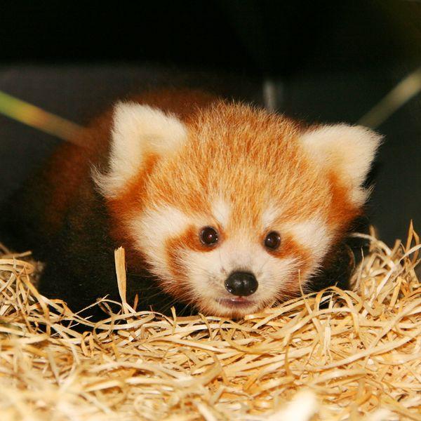 First Red Panda Birth at Planckendael!