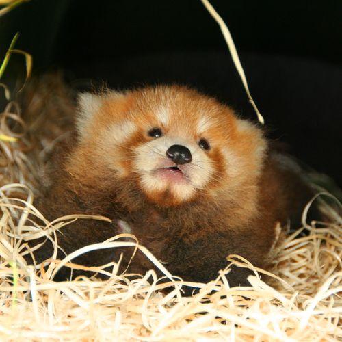 Planckendael-Red-Pandas-3