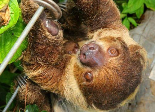 Baby Sloth Sleeping