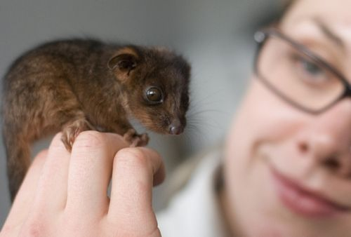 Taronga Zoo Possum Lorinda Taylor 2