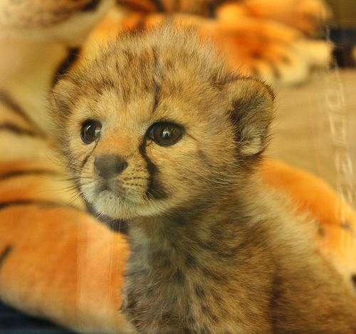 Cincinnati-Zoo-Cheetah-and-Keeper-3