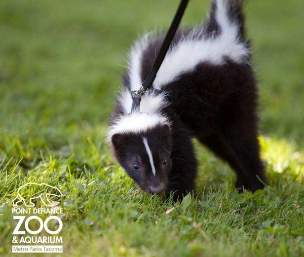 Baby Skunk Is Stinkin Cute Zooborns