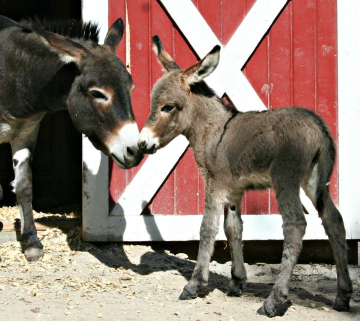 Donkey foal720-3