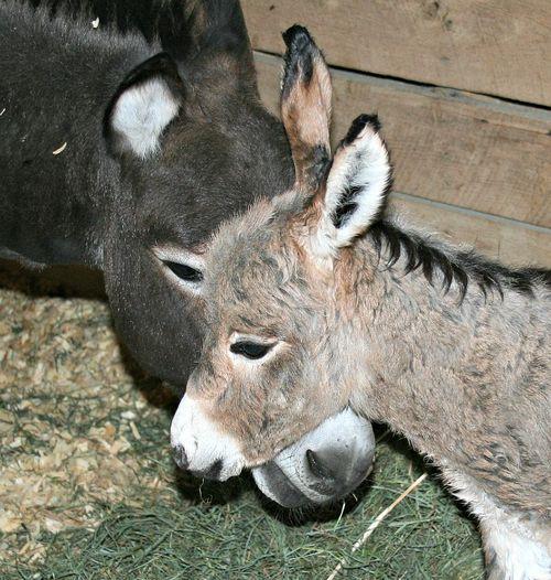 Donkey foal720-1