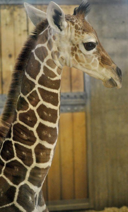 Great Plains Zoo Giraffe Calf 4