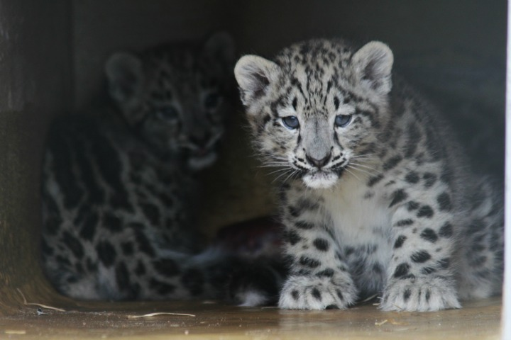 Two snow leopard kittens, in fact