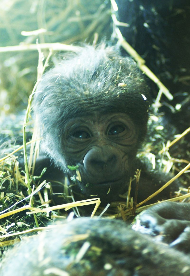 Baby-Gorilla-NC-Zoo-2