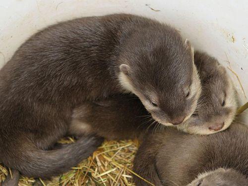 Perth Zoo Otters 11