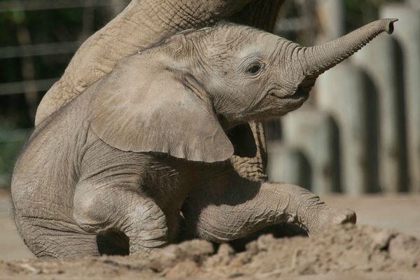 Elephants Animal Animals Calf: Update! Baby Elephant At San Diego Zoo Gets A Name