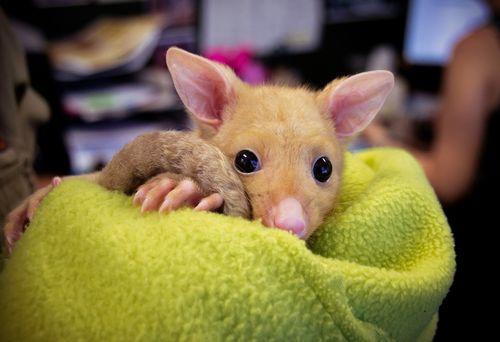 Baby-Possum-Bailey-TMARSHALL-FEB-2012