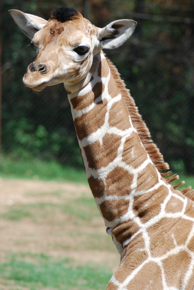 Girafffe2