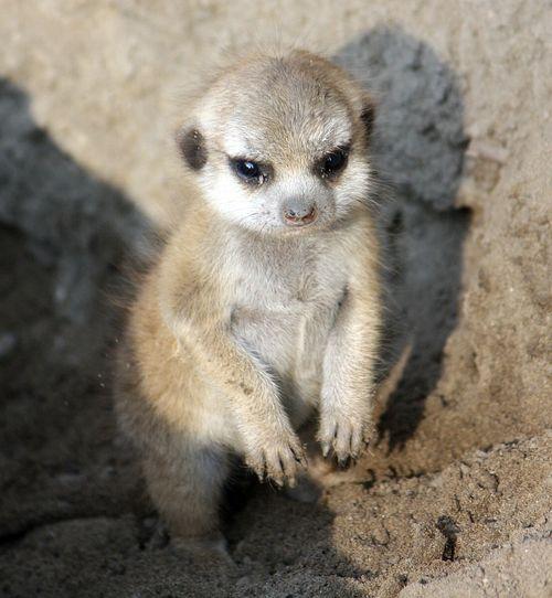 2CleMetZoo meerkat kits hi res 2