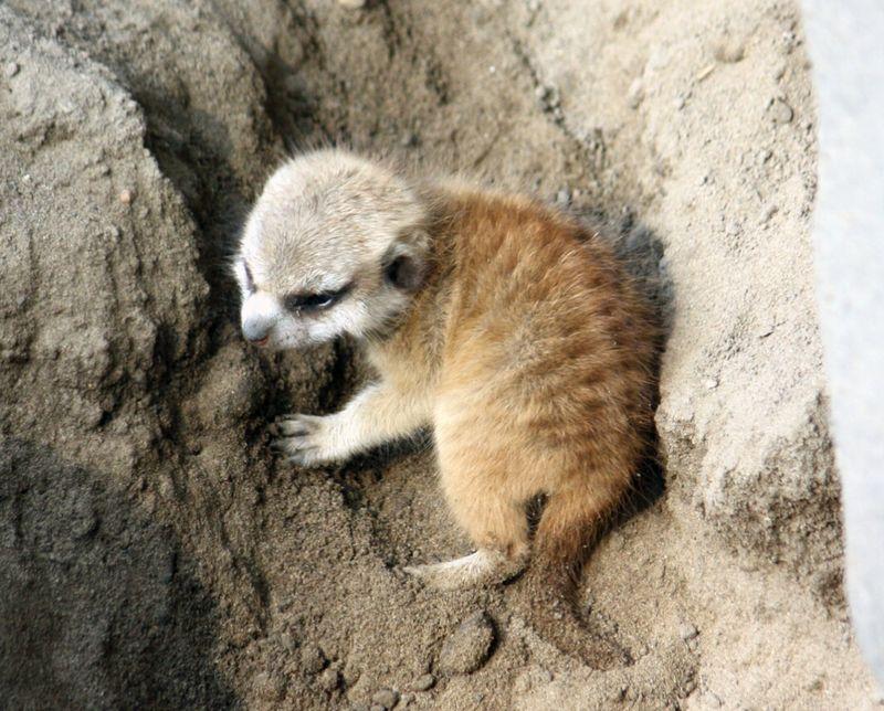 3CleMetZoo meerkat kits hi res 3