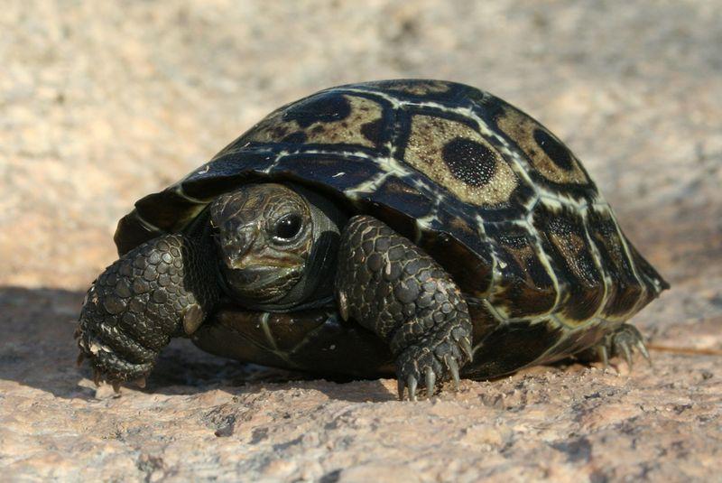Baby-Galapagos-Tortoise-8-30-12