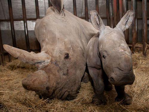 Rhino Calf at Burgers Zoo 1