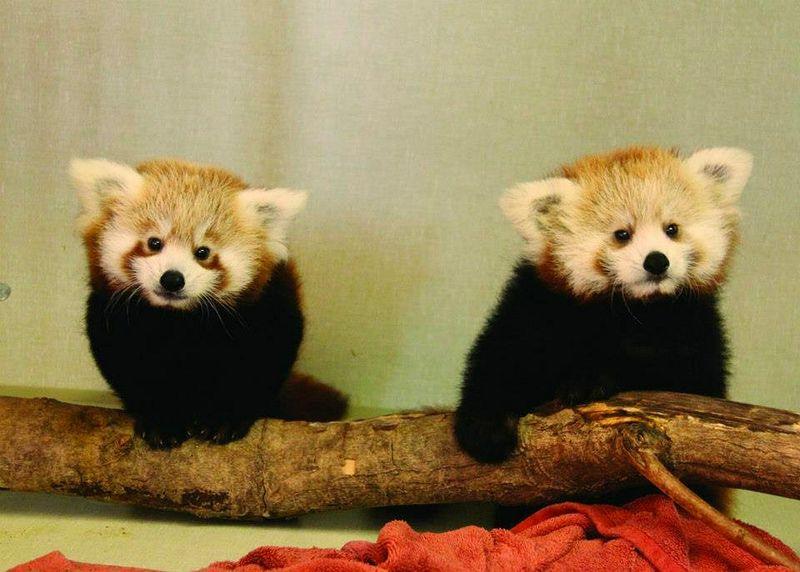 1 panda apart