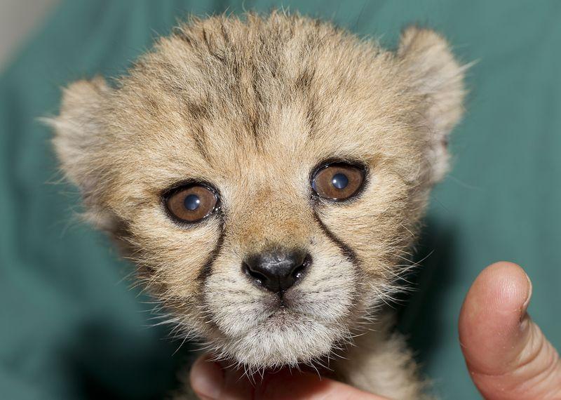 Monarto Cheetah 4