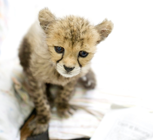 Monarto Cheetah 3