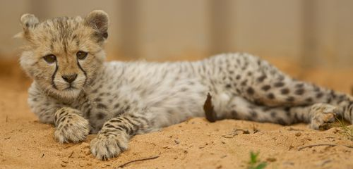 Monarto Cheetah 6