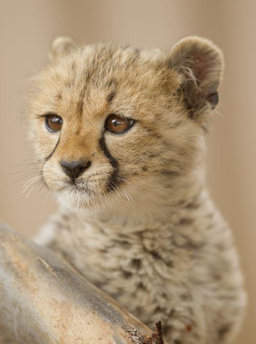 Monarto Cheetah 7