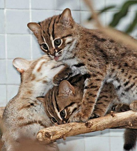 First Rusty Spotted Cats In 168 Years At The Berlin Zoo