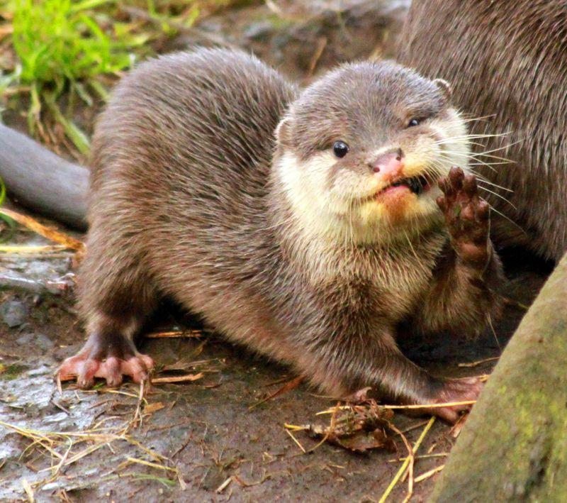 Otter_Pups_5_10_12